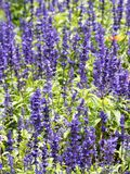 Lavender blooming in the garden. Lavender is a type of plant found on almost all continents. It has a purplish colour. It has a colour named after it, called stock photo