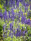 Lavender blooming in the garden. Lavender is a type of plant found on almost all continents. It has a purplish colour. It has a colour named after it, called royalty free stock photos