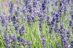Lavender blooming in the heat of summer. royalty free stock photos