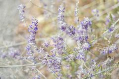 Lavender. Blooming purple lavender flowers and yellow grass in the meadows or fields. Art photography. stock photo