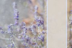 Lavender. Blooming purple lavender flowers and dry grass in the meadows or fields. Mockup for text. royalty free stock photo