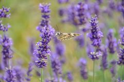 Blooming purple lavender flowers and green grass in the meadows or fields. Butterfly in summertime. royalty free stock photo
