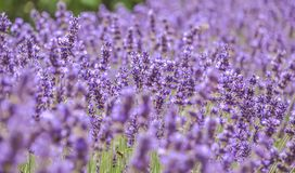 Blooming purple lavender flowers and green grass in the meadows or fields. Flower in summertime. Art photography. stock photos