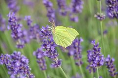 Blooming purple lavender flowers and green grass in the meadows or fields. Yellow butterfly in summertime. Evening stock photos
