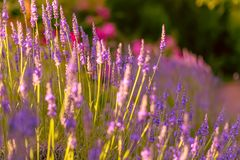 Lavender. Blooming purple lavender flowers grass meadows fields. Evening. Art photography. Lavender. Blooming purple lavender flowers and green grass in the royalty free stock photo