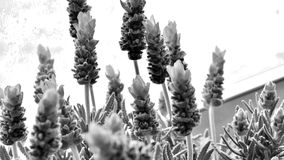 Lavender blooms black and white Stock Images