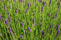 Lavender blooms Stock Images