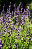 Lavender blooms Stock Photography