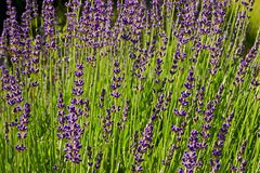 Lavender blooms Royalty Free Stock Image