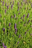 Lavender blooms Stock Image