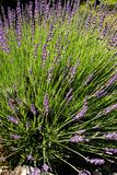 Lavender blooms Royalty Free Stock Photography