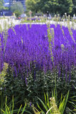 Lavender blooms in the Park Stock Image