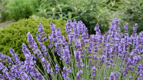 Lavender blooms ready for harvest in a garden setting. Horizontal view of beautiful purple lavender clumped in a garden setting that adds visual color, texture royalty free stock photography