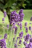 Lavender blossom close view flower. Lavender is a genus of 47 known species of flowering plants in the mint family, Lamiaceae royalty free stock photography