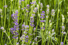 Lavender blossom in garden. Nice color Stock Image