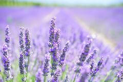 Lavender Blossom, Purple, Violet Royalty Free Stock Photo