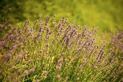 Lavender blossoming on sunny field Stock Photography