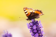 Lavender blossoms with butterfly Stock Photos