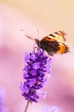 Lavender blossoms with butterfly Stock Image