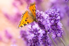 Lavender blossoms with butterfly Royalty Free Stock Image