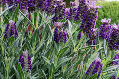Lavender with blossoms and green leaves. At sunshine royalty free stock photos