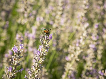 Lavender Blossoms with Japanese Beetle Royalty Free Stock Photo