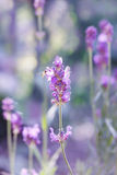 Lavender blossoms Royalty Free Stock Images