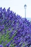 Lavender on blue background Stock Images