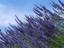 Lavender on the blue background Stock Photo