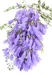 Lavender Blue jacarandas flower isolated on white Stock Image