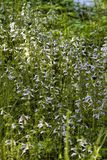 Lavender Blue Lyreleaf Sage - Salvia lyrata Wildflowers. These are light blue to pastel lavender Lyreleaf Sage - Salvia lyrata wildflowers that are growing in royalty free stock photos