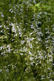 Lavender Blue Lyreleaf Sage - Salvia lyrata Wildflowers. These are light blue to pastel lavender Lyreleaf Sage - Salvia lyrata wildflowers that are growing in royalty free stock image