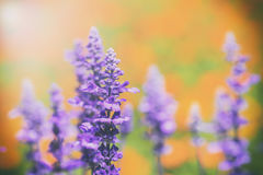 lavender and Blue Salvia flowers blooming in the garden stock photography