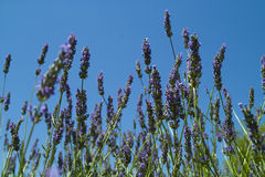 Lavender on the blue sky. Lavender bush on the blue sky Royalty Free Stock Photography