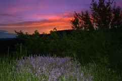 Lavender blue wildflowers twilight scenic view Stock Image