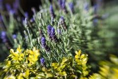 Lavender Bokeh Royalty Free Stock Image