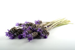 Lavender bouquet. Bouquet of lavender isolated on white background Royalty Free Stock Images