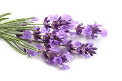 Lavender. Stock Photography