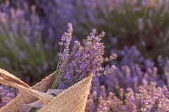 Lavender bouquet in a wicker bag on lavender field sunset Stock Images