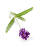 Lavender branch Stock Images