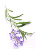 Lavender branch. Pink lavender plant isolated over white background stock photo