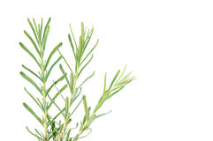 Lavender branches. Three lavender branches  isolated on a white background Royalty Free Stock Photos