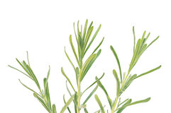 Lavender branches. Three lavender branches, isolated on a white background Stock Images