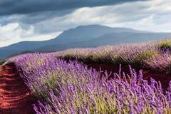 Lavender Bridestowe αγρόκτημα, καθαρό Lavender, Τασμανία στοκ εικόνες
