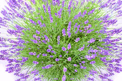 Lavender buch Stock Photography