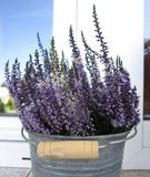 Lavender. In a bucket on a sunny day Royalty Free Stock Image