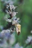 Lavender bug Stock Photography