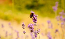 Lavender and the bumble bee. Bombus or Bumble Bee feeding on the fragrant lavender flower heads Stock Photos