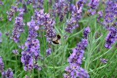 Lavender and bumblebee. Lavender field and a bumblebee sitting on one of the flowers Royalty Free Stock Image