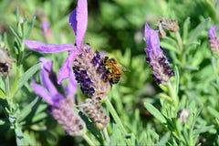 Lavender & bumblebee. In garden Stock Photo